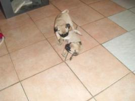 Foto 3 Mopswelpen 10 Wochen alt.