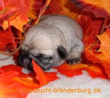 Foto 2 Mopswelpen aus der renommierten Mopszucht vom Weiberhof