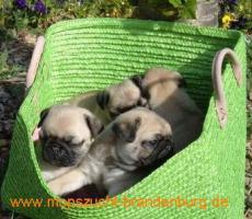 Foto 4 Mopswelpen aus der renommierten Mopszucht vom Weiberhof