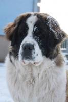 Foto 2 Moskauer Wachhund verkaufe Welpen mit PP FCI