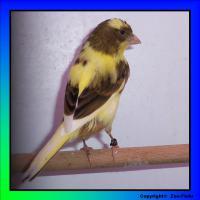 Muntere Singvögel suchen ein neues zu Hause!