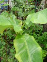 Foto 2 Musa Banana Pflanze