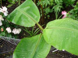 Foto 5 Musa Banana Pflanze