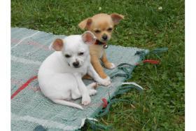 *NEU* Chihuahua Welpen Bildsch�n mit Papiere! Bruder & Schwester