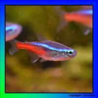 NEU! Top-Zoo-Flohr-Kracher: Neon-Salmler Nachzucht jetzt ab 0,49EUR