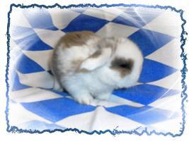 Foto 2 NHD-Miniature-Widder