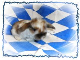 Foto 3 NHD-Miniature-Widder