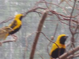 Foto 4 Napoleonweber, Webervogel