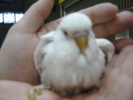 Foto 2 Nestjunge Wellensittiche zu verkaufen