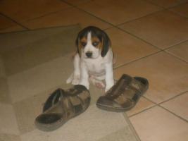Foto 2 Neue Familienmitglied?Beagle Welpe!:-)