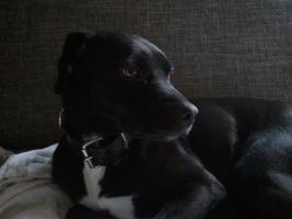 Neues Zuhause für Labrador Mischling gesucht