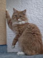 Neva Mädchen sucht liebevolle Katzeneltern