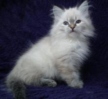 Foto 2 Neva Mädchen sucht liebevolle Katzeneltern