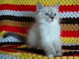 Neva Masquarade Kitten Sibirische Kätzchen mit Stammbaum!!!