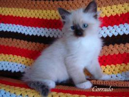 Foto 2 Neva Masquarade Kitten Sibirische Kätzchen mit Stammbaum!!!