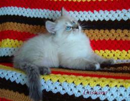 Foto 3 Neva Masquarade Kitten Sibirische Kätzchen mit Stammbaum!!!