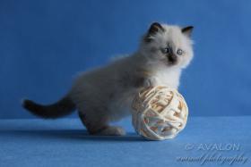 Foto 3 Neva Masquerade kittens