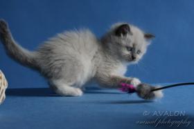 Foto 4 Neva Masquerade kittens