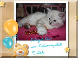 Foto 5 Neva Masquerade & Sibirische Katzen ''vom-Katharinenpalast.eu''