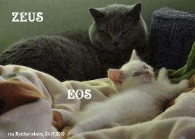 Foto 2 Niedliche Britisch Kurzhhaar (BKH) Katzenbabys in Colourpoint