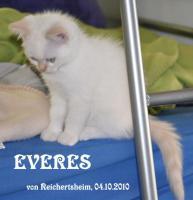 Foto 4 Niedliche Britisch Kurzhhaar (BKH) Katzenbabys in Colourpoint