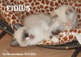 Foto 5 Niedliche Britisch Kurzhhaar (BKH) Katzenbabys in Colourpoint