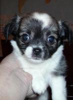 Foto 2 Niedliche Chihuahua Welpen