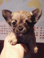 Foto 3 Niedliche Chihuahua Welpen