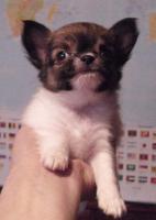 Foto 4 Niedliche Chihuahua Welpen