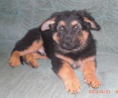 Foto 2 Noch 1 kleiner Altdeutscher Sch�ferhund Welpenr�de �brig