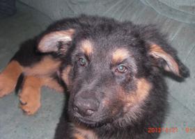 Foto 3 Noch 1 kleiner Altdeutscher Sch�ferhund Welpenr�de �brig