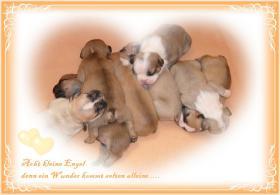 Noch 1 zuckersüße reinrassige Französische Bulldogge ab 02.02.12 abzugeben