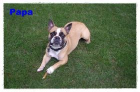 Foto 3 Noch 1 zuckersüße reinrassige Französische Bulldogge ab 02.02.12 abzugeben
