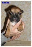 Foto 5 Noch 1 zuckersüße reinrassige Französische Bulldogge ab 02.02.12 abzugeben