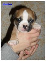 Foto 6 Noch 1 zuckersüße reinrassige Französische Bulldogge ab 02.02.12 abzugeben