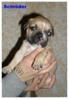 Foto 7 Noch 1 zuckersüße reinrassige Französische Bulldogge ab 02.02.12 abzugeben