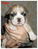 Foto 8 Noch 1 zuckersüße reinrassige Französische Bulldogge ab 02.02.12 abzugeben