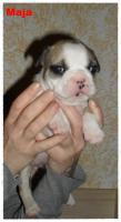 Foto 10 Noch 1 zuckersüße reinrassige Französische Bulldogge ab 02.02.12 abzugeben
