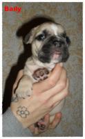 Foto 11 Noch 1 zuckersüße reinrassige Französische Bulldogge ab 02.02.12 abzugeben