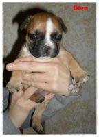 Foto 12 Noch 1 zuckersüße reinrassige Französische Bulldogge ab 02.02.12 abzugeben