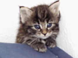 Noch 2 Norwegische Waldkatzen Kitten