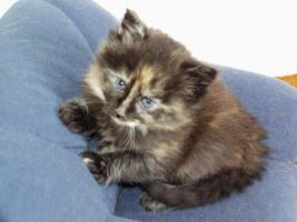Foto 2 Noch 2 Norwegische Waldkatzen Kitten