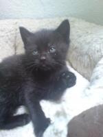 Foto 5 Noch 2 kleine schwarze babykätzchen sofort abzugeben