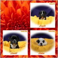 Noch 3 Franz�sische Bulldoggen R�den