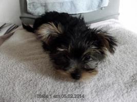 Noch 3 Yorkshirer Terrier Welpen (geb.13.11.13) zu Verkaufen