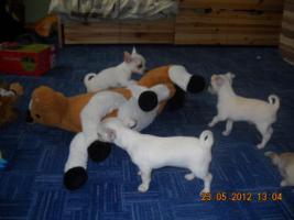 Foto 4 Noch 4 reinrassige Chihuahua Welpen