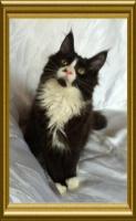 Noch ein wunderschönes Maine Coon Kitten