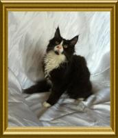 Foto 2 Noch ein wunderschönes Maine Coon Kitten