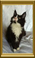 Foto 3 Noch ein wunderschönes Maine Coon Kitten