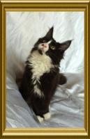 Foto 4 Noch ein wundersch�nes Maine Coon Kitten